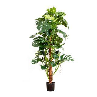 Split-Leaf Philodendron 1.5m