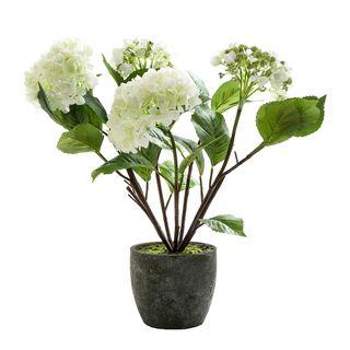 Hydrangea in Pot 70cm White