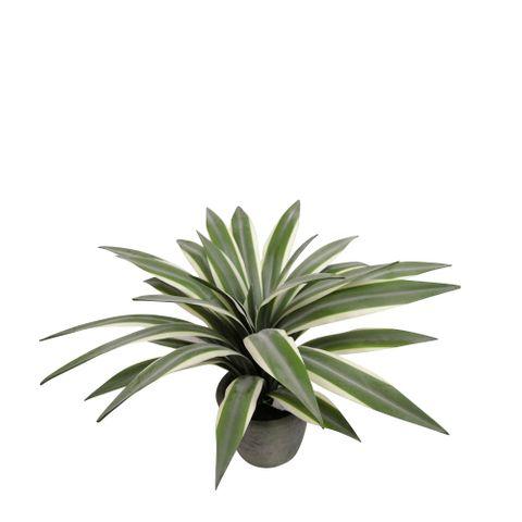 Flax Leaf Plant in Pot 35cm