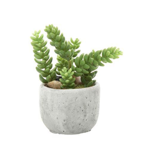 Succulent in Pot 13cm