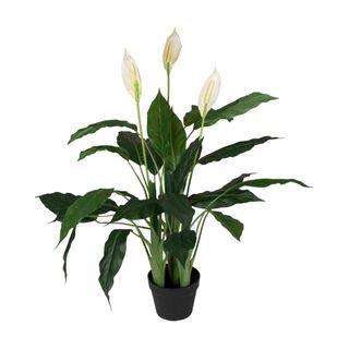 Spathiphyllum in Pot 1.2m