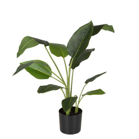Strelitzia in Pot 78cm