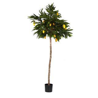 Mango Tree 1.8m
