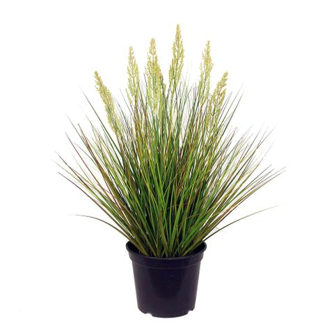 Onion Grass in Pot 60cm