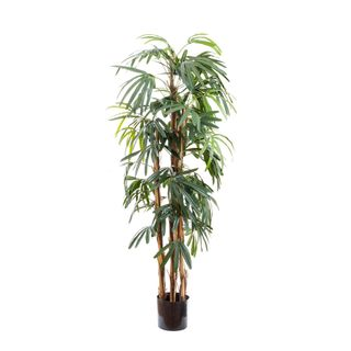 Raphis Palm Thin Leaf 1.7m