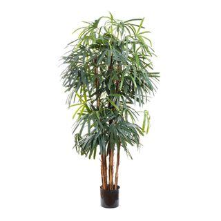 Raphis Palm Broad Leaf 1.8m