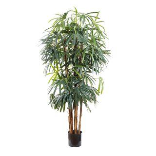 Raphis Palm Thin Leaf 1.8m