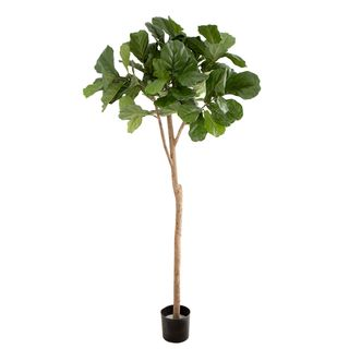 Fiddle Leaf Fig Tree 2m
