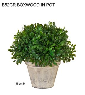 Boxwood in Round Pot 18cm Green