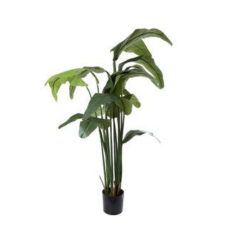 Travellers Palm 1.8m W/16 Lvs