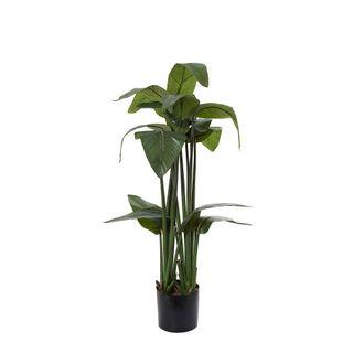 Strelitzia 115cm W/16Lvs in 18cm Pot