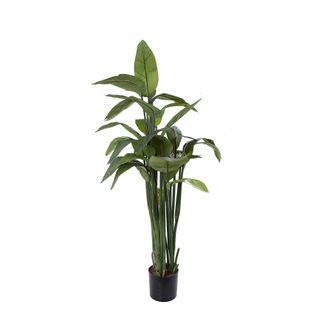 Strelitzia 135cm W/27 Lvs in 18cm Pot
