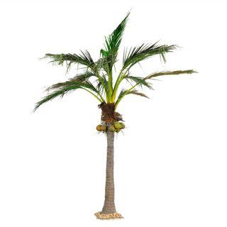 5.9M Giant Coconut Palm 1348Lvs 7 Fruits