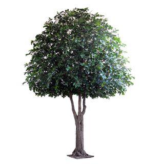 5.7M Giant Oak Tree 17152 Lvs 1110 Fruit