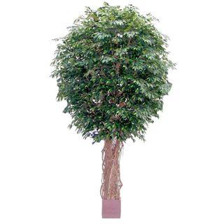 6.1M Giant Fat Ficus Liana 33792 Lvs