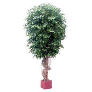 6.1M Giant Fat Ficus Tree W/22912 Lvs
