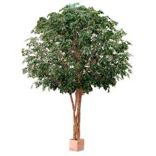 4.6M Giant Ficus x4 W/48800 Lvs