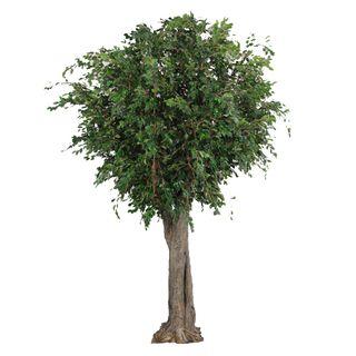 6M Giant Ficus Exotica Tree 27072 Lvs