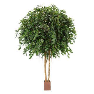 6.1M Giant Ficus Exotica 35580 Lvs