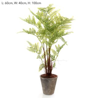 Fern Lge With Root in Pot 90cm