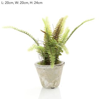 Fern Sm in Pot 24cm