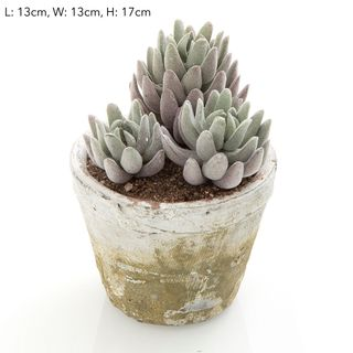 Succulent in Lge Pot 16cm Grey