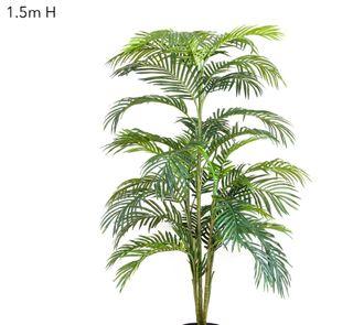 Areca Palm x 5 - 1.5m