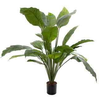 100cm Spathiphyllum Potted 24