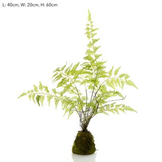 Fern Planted Potted in Soil 60cm