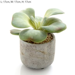 Succulent in Cement