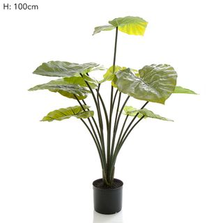 Taro Plant in Black Pot 1m 13 Lvs