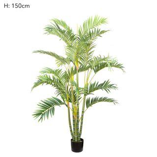 Areca Palm Multi Trunk 1.5m