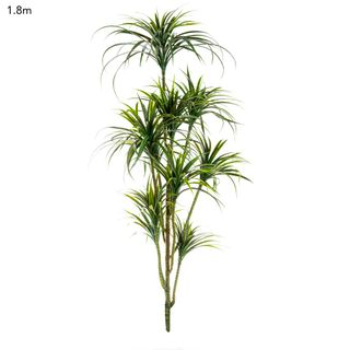Yucca Plant x 10 Unpotted - 1.8m