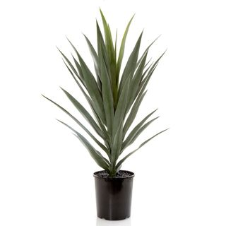 Yucca in Pot
