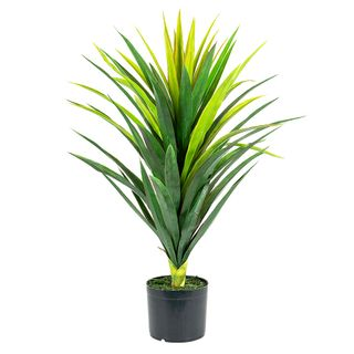 Yucca Plant in Pot