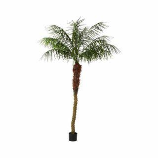 Phoenix Palm 2.1m