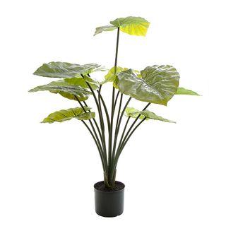 Taro Plant in Black Pot 1m
