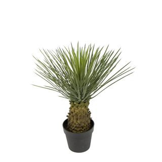 Hedgehog Grass Tree In Pot 60cm