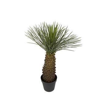 Hedgehog Grass Tree 90cm