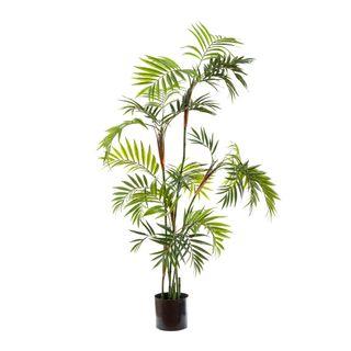 Parlour Palm 1.4m