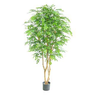 Eucalyptus Multi Tree w/5249 Lvs 152cm
