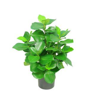 Mini Clusia Bush Potted Plant