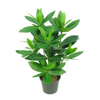 Mini Bay Leaf Potted Plant