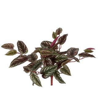 Cissus Hanging Bush Red