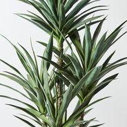 Yucca Plant 24cmd x 21cmh