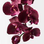 Orchid Phalaenopsis Spray 92cml