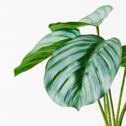 Calathea Plant 28cmh