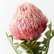 Banksia Acorn 69cml