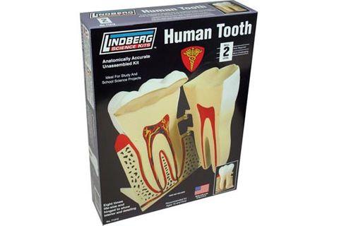Lindberg 8:1 Human Tooth*