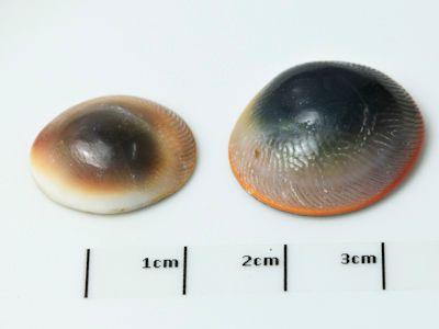 Operculum Assort Size (N)